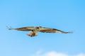 Ospreys today, I was scouting locations for a group outting I am leading next week. Found them :-)  #ottawabirding #ottawa #osprey #bif