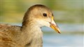 Young_Moorhen_portrait