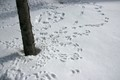 Tracks of Snowshoe Hare