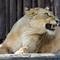 05 Lioness