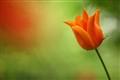 Tulip - Spring