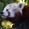 Red Panda: (Ailurus Fulgens) Seen at Woodside Wildlife Park. #animal #panda #redpanda