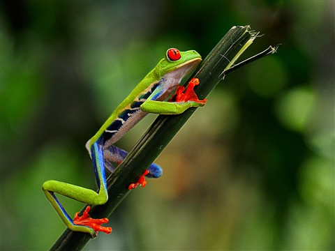 Red Eyed Tree Frog-Costa Rica