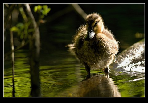 Duckling_light2