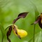 cypripedium calceolus bokeh