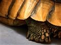 Turtle  Leg