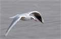 A common black-headed gull