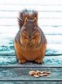 Squirrel Enjoying Cashews