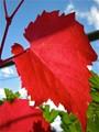 Ornamental Grape Leaf