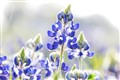 2013 texas bluebonnet