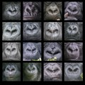 """What is the fingerprint in humans is the shape of the nose in gorillas. Diane Fossey was already able to clearly identify """"her"""" gorillas on the basis of this characteristic feature.  This collage was created during a visit to the mountain gorillas in the Virunga Mountains of Rwanda."""