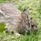 Visiting Rabbit