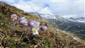 Spring flowers in Swiss mountains