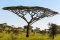 Trees of the Serengeti Acacia tortilis, (Umbrella Thorn Acacia Tree)