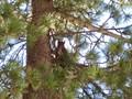 Squirrel in St. Moritz
