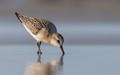 Sanderling juvenile
