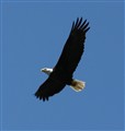 Bald Eagle above Rogue River, OR