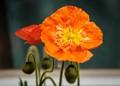 Orange Poppy-7686