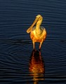 Roseate Spoonbill in Golden Glow