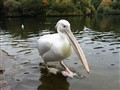 Pelican, St. James's Park