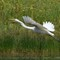 Great Egret 0961