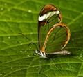 Glasswing
