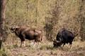 Indian Gaur Bison,shot integrity,confirmed
