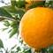 japanese_oranges_sakai