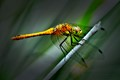 My Favorite Dragonfly
