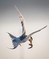 Lucky Tern-2289