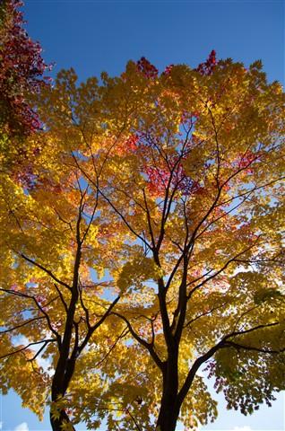 Autumn Tapestry Tree