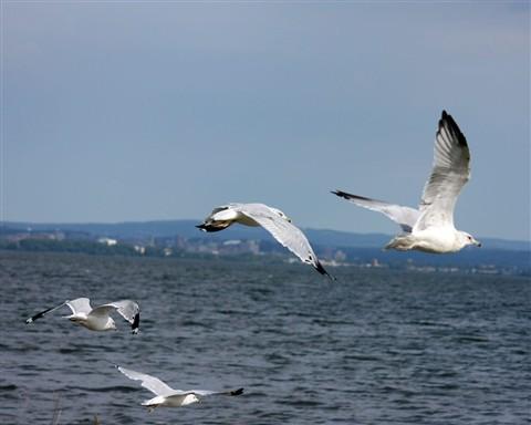 SeagullsFlying1280_IMG_2280