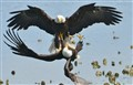 Bald Eagles fight over a fish
