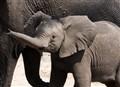 Baby Elephant in Chobe Park-Botswana