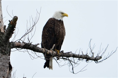 Eagle-009