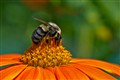 Bumble Bee Mexican Sunflower