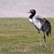 The Critically endagered Black-necked Crane
