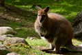 Fuzzy Wuzzy was a Wallaby