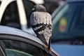 Edinburgh pigeon on car