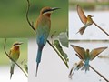 Composite photos taken at Pulau Burung, Malaysia.  Bee-eaters like to perch on open branches or reeds in open-fields looking out for their favourite meal (bee) or any other insect that happen to fly by.   They will swoop and catch bees and insect mid-air and return to their perch to devour their meal.