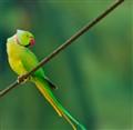 City Parrot