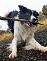 Border collie and her stick