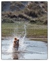 Splashing dog