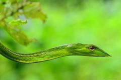 Green vine snake...