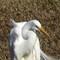 hqburst egret head 12-18-13 188  (1 of 1)