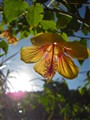Abutilon in the Morning Sun