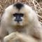 White Cheeked Gibbon Female