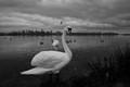 Swans,goosen&seagulls