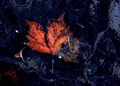 Maple Leaf in Lake Water