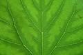 Green Vains